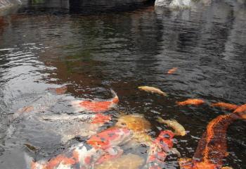 Der skimmer im teich ist wichtig f r die wasserqualit t for Koi und goldfische zusammen